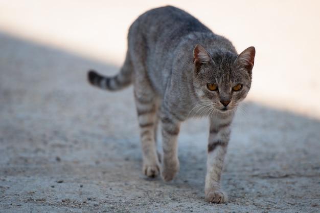 Un gatto adulto a strisce cammina sul marciapiede.
