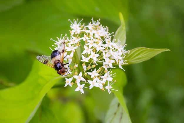 Hoverfly a strisce su piccoli fiori bianchi tra le foglie verdi. macro.