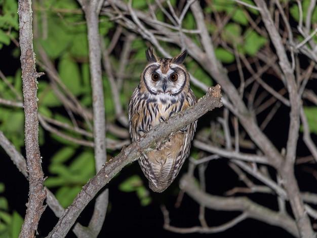 Gufo a strisce sul ramo di un albero