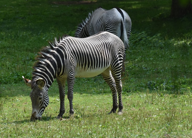 Coppia a strisce di zebre nere e bianche