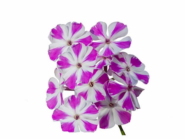 Bellissimi fiori di phlox a strisce viola e bianchi isolati su sfondo bianco.