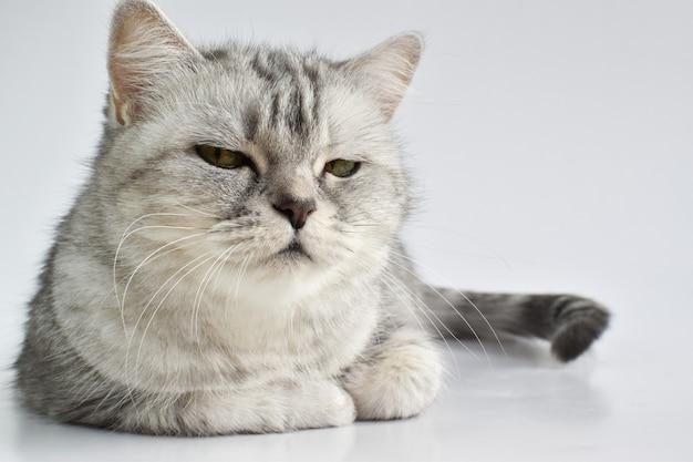 Un gatto serio a strisce si trova su una superficie bianca