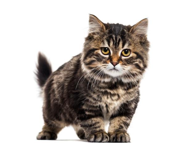 Gatto di razza mista gattino spogliato, isolato su bianco