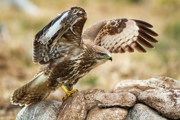 Forte poiana comune, buteo buteo, che mostra la sua posizione dominante e le ali spiegate. colorato uccello rapace di atterraggio sulle rocce in montagna. caccia agli animali vigili nella natura selvaggia in autunno.