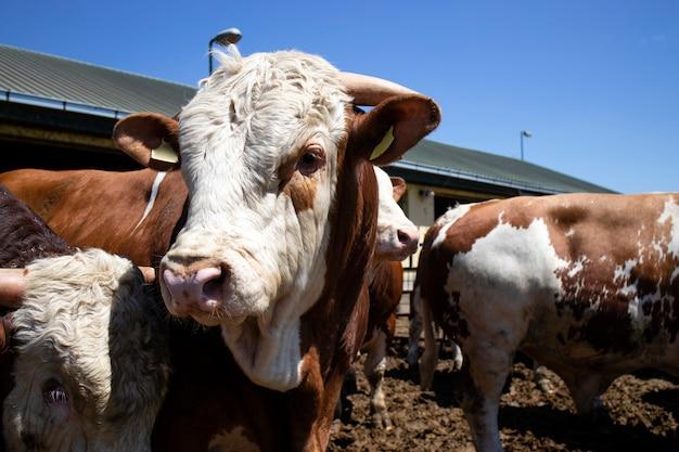 Forti animali domestici toro muscoloso per la produzione di carne in azienda agricola biologica.