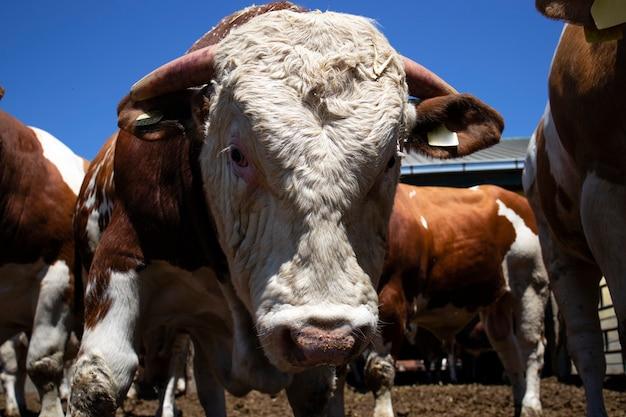 Forti animali domestici toro muscoloso per la produzione di carne presso l'azienda agricola biologica.