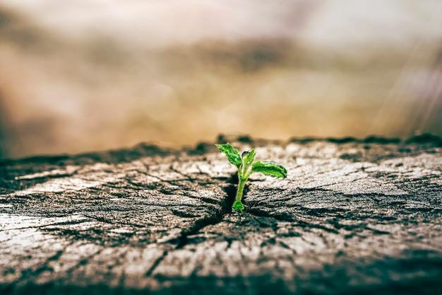 Una piantina forte che cresce nel vecchio albero morto centrale, concetto di nuova vita con germogli in crescita della piantina