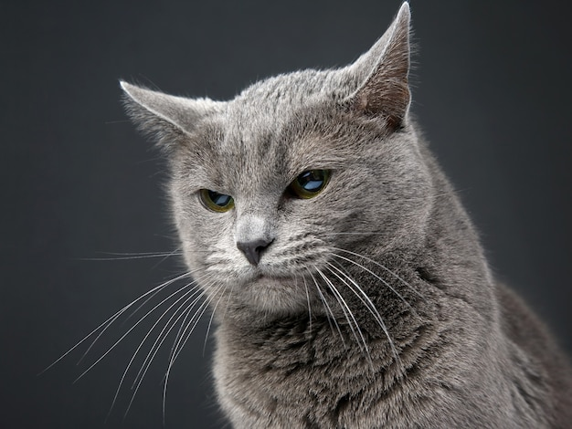 Ritratto in studio di un bellissimo gatto grigio su oscurità