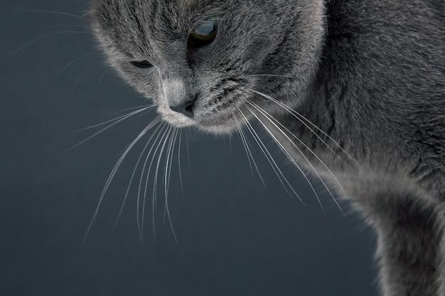 Ritratto in studio di un bellissimo gatto grigio