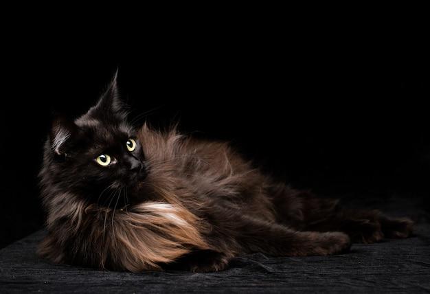 Studio ritratto di un bellissimo gatto maine coon