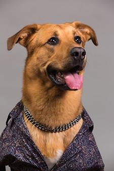 Ritratto in studio di grande cane mingrel indossando camicia da uomo che guarda l'obbiettivo e seduto, su grigio