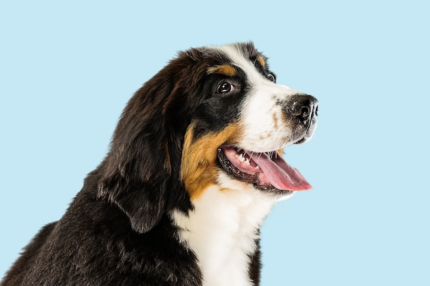 Studio shot di berner sennenhund cucciolo su sfondo blu studio