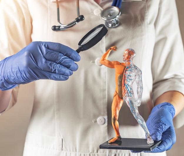 Studio del concetto anatomico dei sistemi circolatori e muscolari modello del corpo umano sano