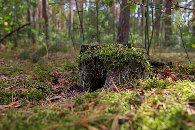 Un ceppo da vicino ricoperto di muschio che cresce in una foresta di pini sullo sfondo di altri cespugli