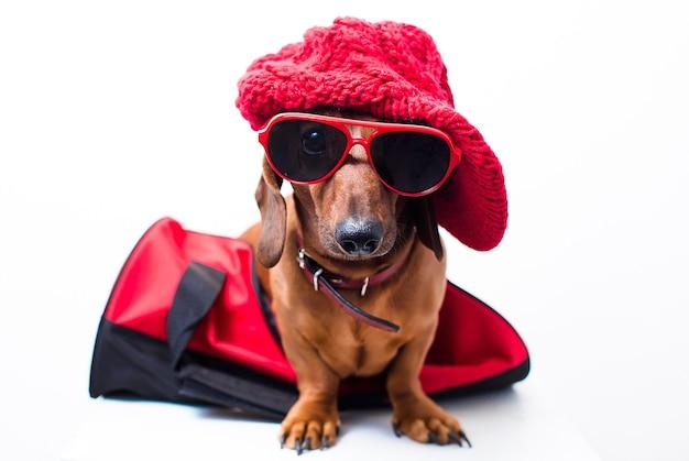 Cane alla moda in vestito rosso alla moda in borsa