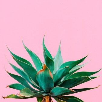 Piante alla moda su contenuto rosa. pianta tropicale sul muro rosa