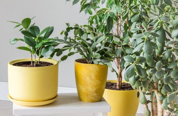 Lo spazio elegante è pieno di una varietà di moderne piante verdi in vasi gialli composizione moderna del giardino domestico interni eleganti e minimalisti nella giungla urbana giardino domestico botanico