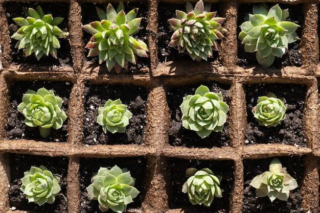 Piantine di piante succulente in vasi biodegradabili di muschio di torba. vista dall'alto.