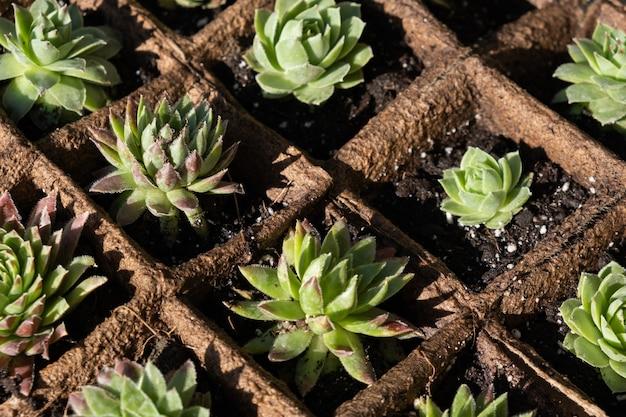 Piantine di piante succulente in vasi biodegradabili di muschio di torba.