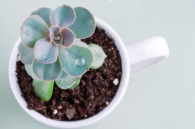 Pianta succulenta con goccia d'acqua. copia spazio.