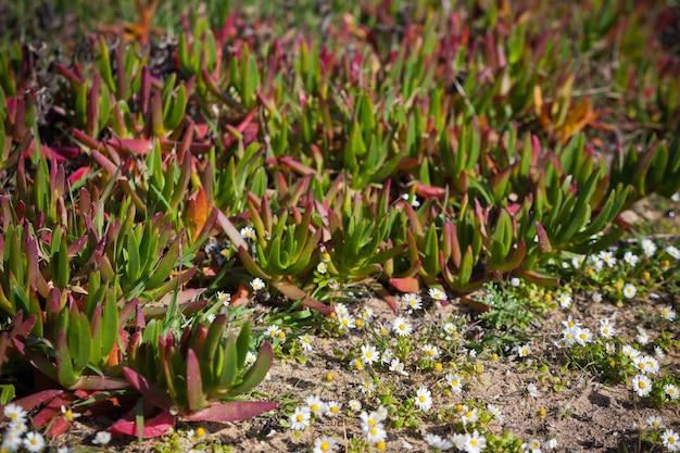 Primo piano delle piante succulente e delle margherite alla costa dell'oceano del portogallo. inquadratura orizzontale
