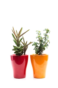 Succulente in vaso isolato su bianco.