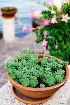 Piante grasse che crescono in un vaso di fiori di argilla marrone