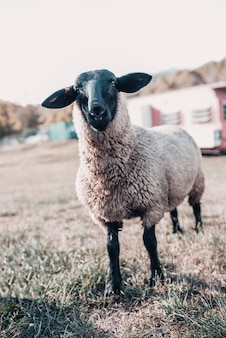 Immagine alta vicina delle pecore della suffolk. la pecora bianca nera è conosciuta per la sua carne e può essere trovata in tutta europa o in australia