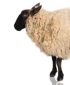 Suffolk sheep davanti a uno sfondo bianco