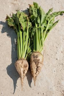 Barbabietola da zucchero radice nel terreno, coltura coltivata nel campo