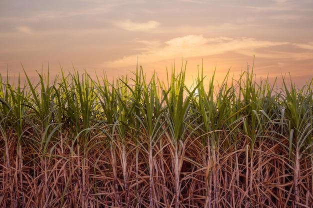 Fattoria di canna da zucchero, pianta da zucchero verde al tramonto