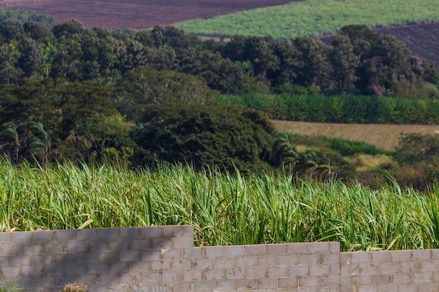 Piantagione di canna da zucchero e muro di cemento. immagine del concetto di esodo urbano. spazio per il testo.