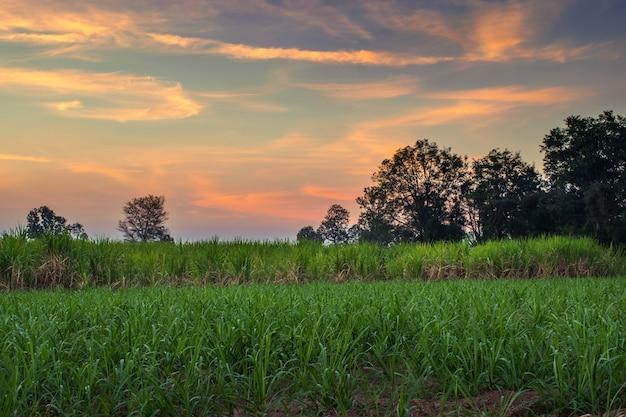 Canna da zucchero con il fondo della natura di fotografia del cielo di tramonto del paesaggio.