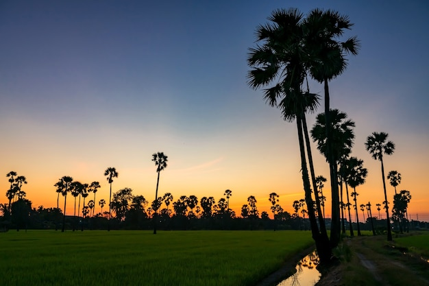Sugar palm tree e risone fattoria con cielo al crepuscolo e riflessione sul bacino idrico al tramonto, pathum thani, thailandia. concetto di industria naturale e agricola.
