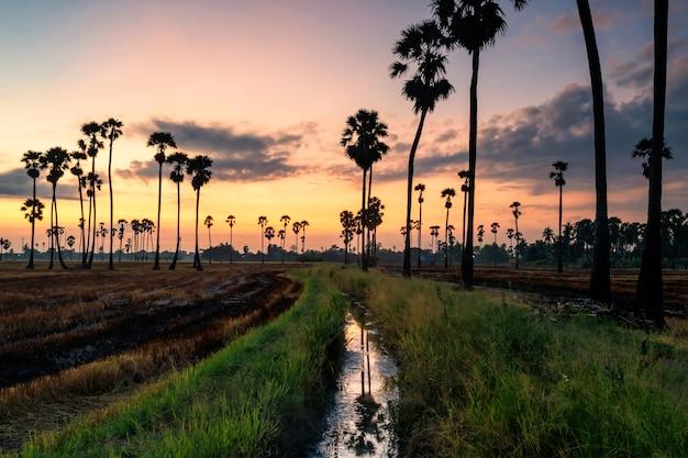 Palme da zucchero e fattoria di riso secca con bacino idrico all'alba prima dell'alba a pathum thani thailandia