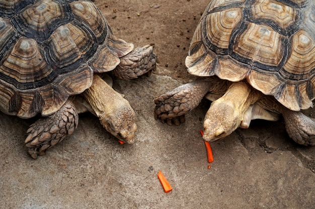 Tartaruga sulcata geochelone sulcata mangia una carota affettata nella fattoria degli animali