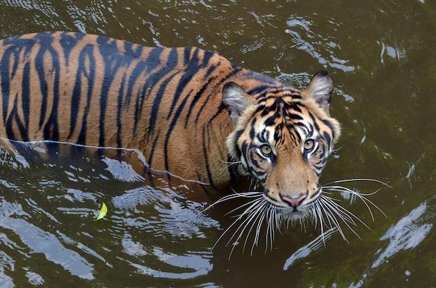 Tigre di sumatra nuotare nello stagno