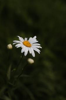 Sfondo estivo di fiori di camomilla su uno sfondo verde di erba