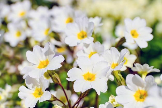 Sfondo estivo di fiori di primule bianche che fioriscono nel parco.