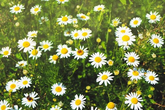Sfondo estivo, molte margherite nell'erba verde, sole splendente