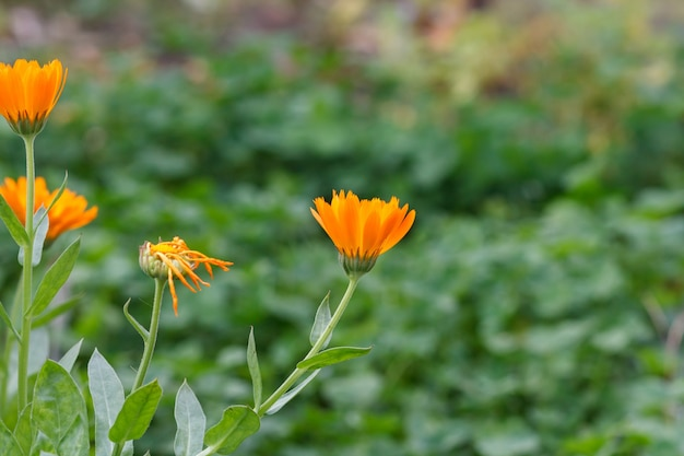 Sfondo estivo con fiori di calendula alla luce del sole. calendula in fiore in estate con sfondo naturale verde.