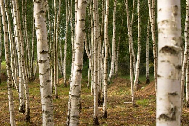 Chiuda il bosco di betulle estive. sfondo naturale.
