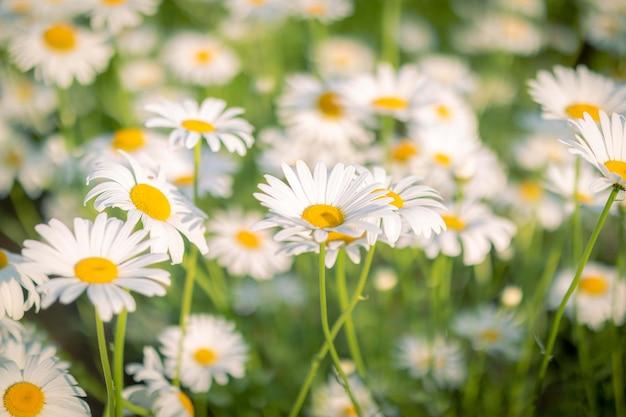 Paesaggio luminoso estivo con bellissime camomille di fiori selvatici
