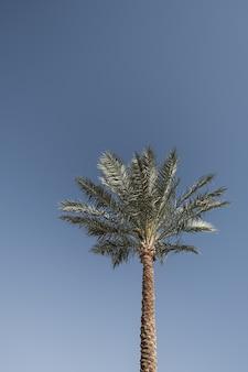 Palma tropicale esotica di estate contro il cielo blu