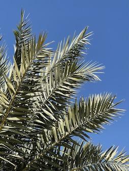 Foglie di palma tropicale esotica estiva contro il cielo blu