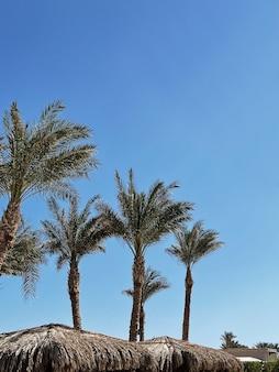 Palme tropicali esotiche estive contro il cielo blu