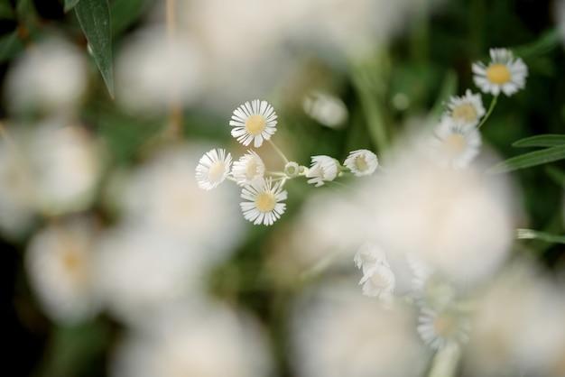 Sfondo floreale estivo con fiori di margherita selvatica in primo piano sfocato, campo di fiori di camomilla selvatica