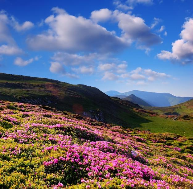 Paesaggio estivo con fiori di rododendro, prati di montagna