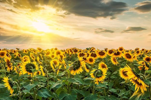 Paesaggio estivo con campo di girasoli e sole