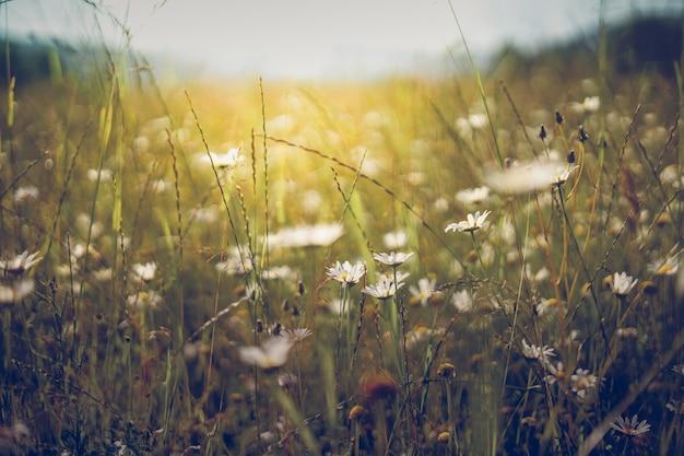 Paesaggio del prato estivo. sole, fiori selvatici sfondo sfocato, bokeh, messa a fuoco selettiva, luce solare calda, fuoco morbido. natura astratta baner